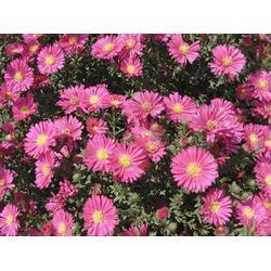 荷兰菊叶子-荷兰菊-君诚花卉苗木