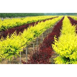 绿化苗木用途|东营绿化苗木|青州君诚花卉苗木公司(查看)图片