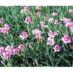 黑龙江节日花卉-君诚花卉苗木公司-节日花卉图片