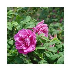 济南宿根花卉,君诚花卉苗木厂,宿根花卉种植图片