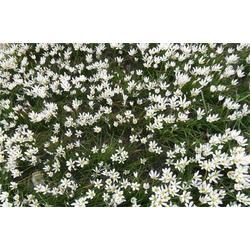 葱兰-君诚花卉苗木-葱兰图片