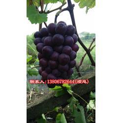 金华葡萄苗哪里便宜 |根明葡萄专业合作社|金华葡萄苗图片