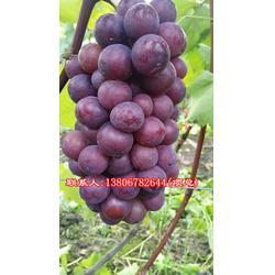 金华葡萄苗,根明葡萄专业合作社,金华葡萄苗哪里有卖图片