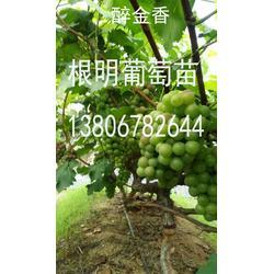 浙江葡萄苗 巨峰葡萄苗哪里有 根明葡萄专业合作社(优质商家)图片