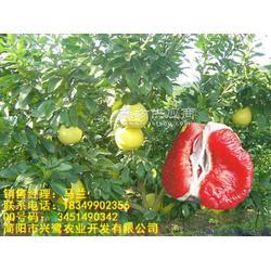 红心柚子苗基地,红心柚子苗,红心柚子苗种苗图片