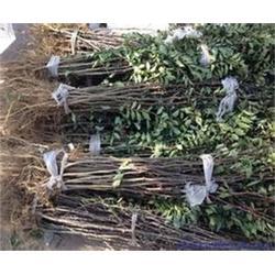 山东泰安花椒苗、花椒苗、泰安苗木繁育基地直供(查看)图片