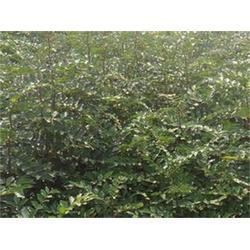 花椒苗繁殖方法,枣庄花椒苗,泰安苗木繁育基地(查看)图片