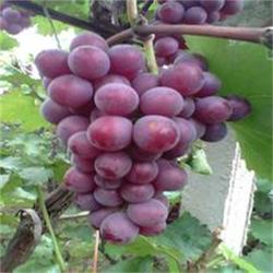 巨峰葡萄苗、泰安苗木繁育基地、巨峰葡萄苗图片