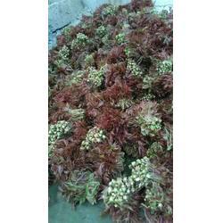 山东香椿苗品种-泰安苗木繁育基地供应-黔东南香椿苗图片