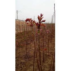 香椿苗市场价,香椿苗,泰安苗木繁育基地直供图片