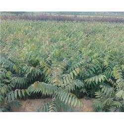 泰安苗木繁育基地直供,香椿苗出售,香椿苗图片