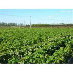 低价巨峰葡萄苗、泰安苗木繁育基地(在线咨询)、巨峰葡萄苗图片