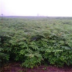 香椿苗品种、香椿苗、泰安苗木繁育基地报价(查看)图片