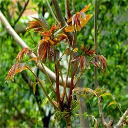 香椿苗包邮,香椿苗,泰安苗木繁育基地直供(查看)图片