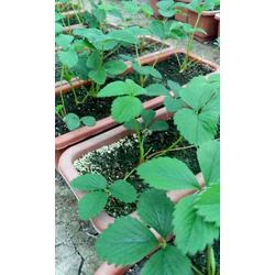 章姬草莓苗哪里多、菏泽章姬草莓苗、志达园艺场图片