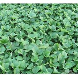长治牛奶草莓苗,18366637117,牛奶草莓苗苗圃图片