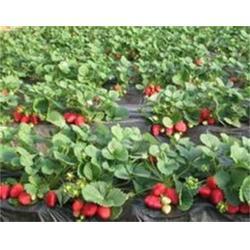 美香莎草莓苗哪里好、柳州草莓苗、志达园艺场(查看)图片