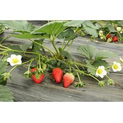 全明星草莓苗、草莓苗、泰安苗木繁育基地供应图片