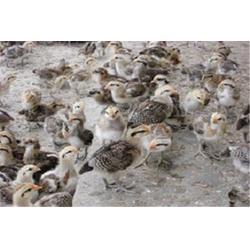 山鸡种苗公司,兴隆机械(在线咨询),山鸡种苗图片