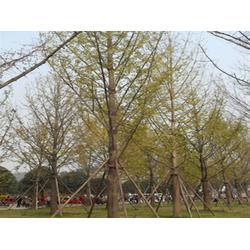 博宇银杏,邳州银杏树,银杏树图片