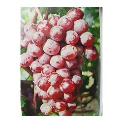 弗雷无核葡萄苗种植基地、弗雷无核葡萄苗、鲁粒大棚葡萄苗图片