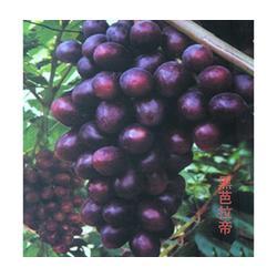 潍坊葡萄苗木厂家,葡萄苗木,鲁粒大棚葡萄苗(查看)图片
