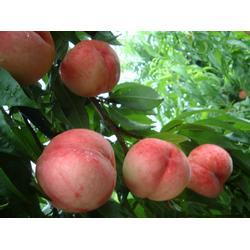 桃树苗木,鲁粒大棚葡萄苗,桃树苗木供应商图片