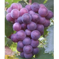 葡萄树苗嫁接,葡萄树苗,葡萄树苗种植技术图片