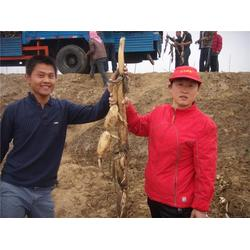 淄博高产池藕,高产池藕种苗,鲁中池藕(优质商家)图片