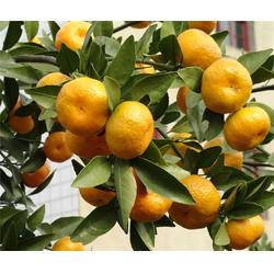 柑橘树苗品市场地址-湖北果茶所(在线咨询)咸宁柑橘树苗图片