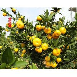 柑橘树苗市场-湖北果树茶叶研究所-鄂州柑橘树苗批发
