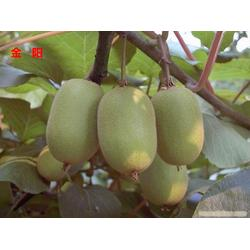 哪里有獼猴桃樹苗賣-荊州獼猴桃樹苗-果樹苗木供應(查看)圖片