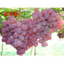 鄂州葡萄树苗,哪里有葡萄树苗,湖北果茶所(推荐商家)图片