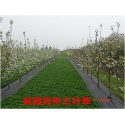 晚秋黄梨树苗-天门梨树苗-果树茶叶研究所(查看)图片