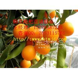攸县优质橘子苗木,橘子苗基地挂果图片