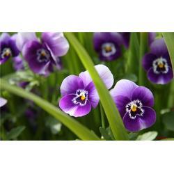 山东山一草花出售基地、江西草花、草花品种图片