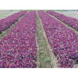 青州山一草花种植基地,草花,宿根草花图片
