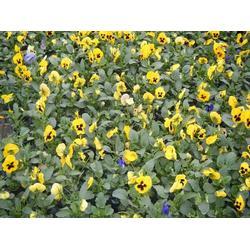 时令草花、山一花卉苗木、时令草花栽培技术图片