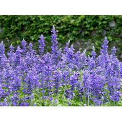 山一节日草花种植基地、节日草花、四川节日草花预定图片
