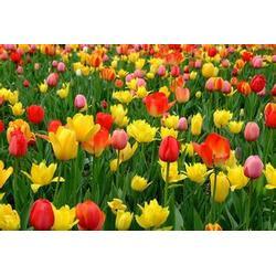 节日草花,山一花卉苗木(在线咨询),节日草花种植图片