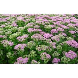 内蒙古草花绿化、草花、草花找山一花卉苗木图片