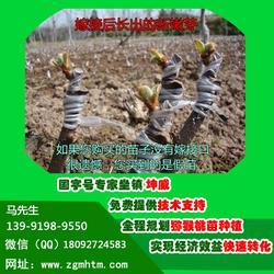 徐香猕猴桃树、陕西猕猴桃树、坤威猕猴桃苗(查看)图片
