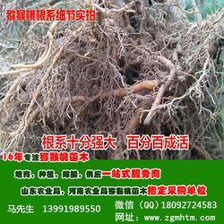 西安猕猴桃树,软枣猕猴桃树,坤威猕猴桃苗图片