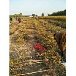 【兴农石榴树苗】(图),突尼斯软籽石榴苗在哪买,石榴苗图片