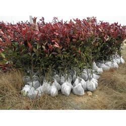 小叶红叶石楠包邮、莎莎园艺、吉林小叶红叶石楠图片