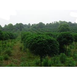 出售桂花树苗-莎莎园艺(在线咨询)中山桂花树苗图片