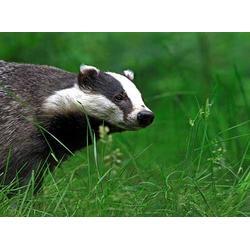 承德獾子养殖专业合作社、獾子养殖、飞阳野猪基地(查看)图片