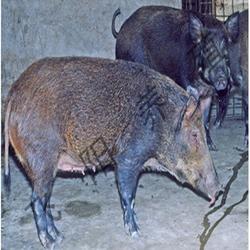 天津野猪养殖、飞阳野猪养殖畅销全国、野猪养殖厂家图片