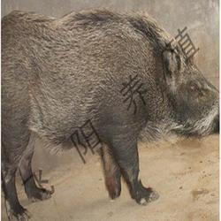 野猪养殖合作社-新华野猪养殖-飞阳野猪养殖(查看)图片