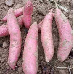 西农431哪家好 德州西农431 禾田薯业图片